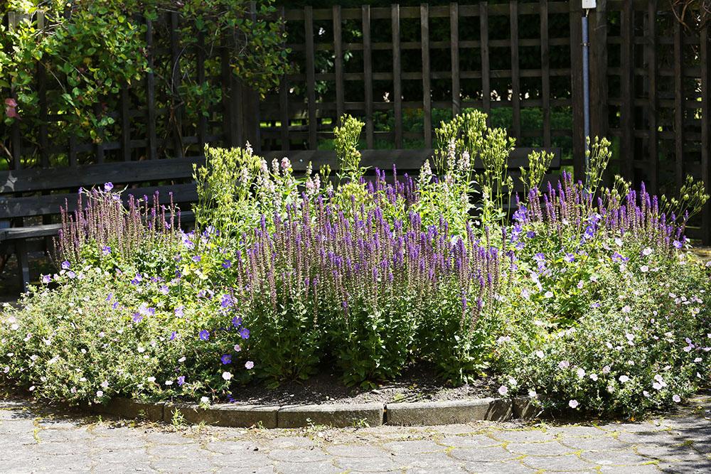Plantering med ljung
