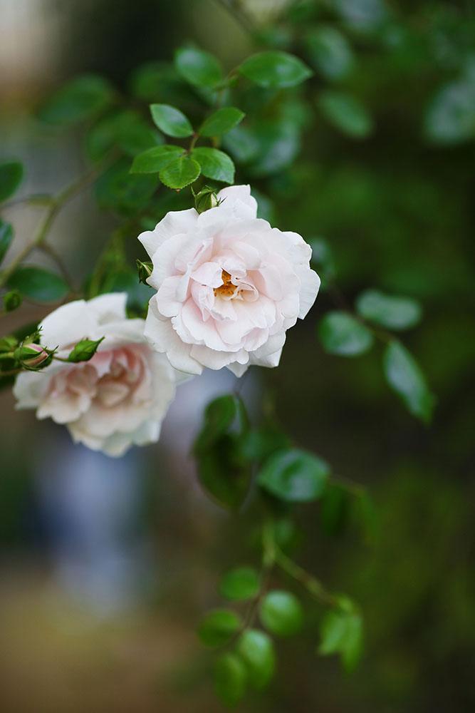 Närbild på en ros